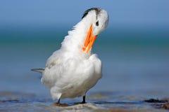 Tern w wodzie, czyści upierzenie Królewscy Tern, mostków maksimumy, lub Thalasseus maximus, seabird na plaży, ptak w jasnej natur Fotografia Royalty Free