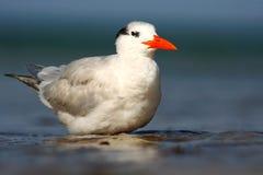 Tern w wodzie Królewscy Tern, mostków maksimumy, lub Thalasseus maximus, seabird na plaży, ptak w jasnym natury siedlisku zwierzę Zdjęcia Stock