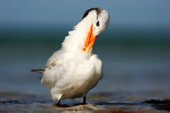 Tern w wodzie Królewscy Tern, mostków maksimumy, lub Thalasseus maximus, seabird na plaży, ptak w jasnym natury siedlisku zwierzę Zdjęcie Stock