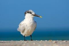Tern w wodzie Królewscy Tern, mostków maksimumy, lub Thalasseus maximus, seabird na plaży, ptak w jasnym natury siedlisku zwierzę Zdjęcie Royalty Free