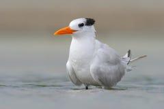 Tern w wodzie Królewscy Tern, mostków maksimumy, lub Thalasseus maximus, seabird tern rodzina Sternidae, ptak w jasnej naturze Fotografia Royalty Free