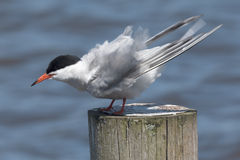 Tern washing itself on a pole Royalty Free Stock Images