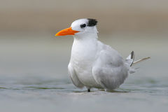 Tern in the water. Royal Tern, Sterna maxima or Thalasseus maximus, seabird of the tern family Sternidae, bird in the clear nature Royalty Free Stock Photography