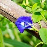 Ternatea do Clitoria Fotos de Stock