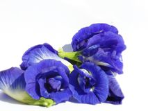 Ternatea do Clitoria Imagem de Stock Royalty Free