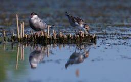 terns грудин общего hirundo отдыхая Стоковая Фотография