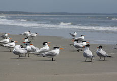 terns пляжа королевские Стоковые Фото