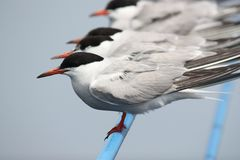 Terns Royalty Free Stock Photos