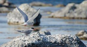 terns Стоковое Изображение
