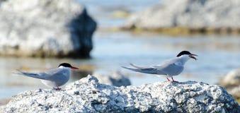 terns Стоковые Фотографии RF