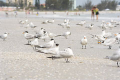 Terns on the beach. A flock of Terns relax on the beach Stock Photography