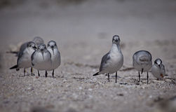 Terns on the Beach Royalty Free Stock Image