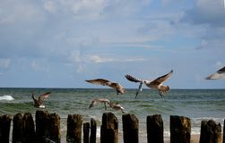 Terns. On the coast of the Baltic Sea Stock Photo