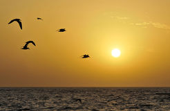 Terns in fly at dusk. Terns in fly over the ocean at dusk. Photo taken in west Africa stock photos