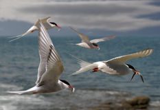 Terns Fly Home Royalty Free Stock Photos