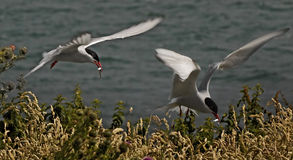 Terns with Food Royalty Free Stock Images