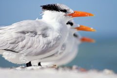 Terns in a Line Stock Image