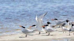 Terns na sandbar z skrzydłem przedłużyć Fotografia Royalty Free