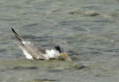 Lesser crested tern immersed in water. Terns are seabirds in the family Sternidae Stock Image