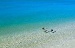 Terns standing in the clear blue ocean looking for food royalty free stock photography