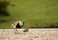 Tero bird ( southern lapwing ) Stock Image