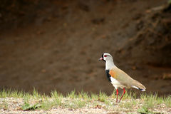 Tero bird ( southern lapwing ) Stock Images