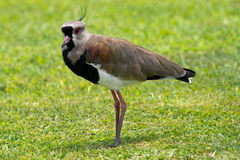 Tero (o pássaro nacional de Uruguai) Fotos de Stock
