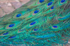 Terquoise Peacock feathers Stock Photos