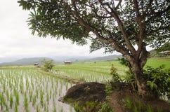 Terraço arquivado arroz na estação da colheita Foto de Stock