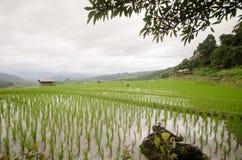 Terraço arquivado arroz na estação da colheita Fotos de Stock