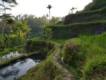 Terraço Bali do arroz imagens de stock royalty free