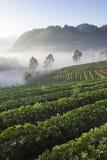 Terraço da exploração agrícola da morango Imagem de Stock Royalty Free