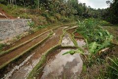 Terraço do arroz Imagens de Stock