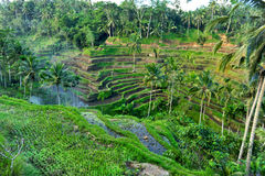 Terraço do arroz, Bali fotos de stock royalty free