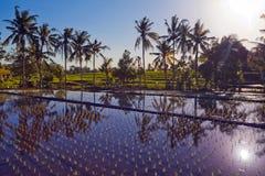 Terraço do arroz com palmas Imagem de Stock Royalty Free