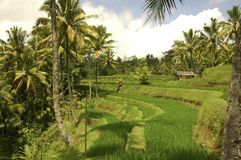 Terraço do arroz de Bali Indonésia fotografia de stock