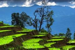 Terraço do arroz e nebuloso Imagem de Stock
