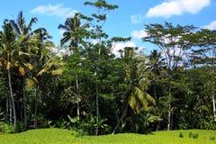 Terraço do arroz na frente da selva Imagem de Stock