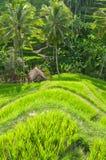 Terraço do arroz, Ubud, Indonésia Imagens de Stock Royalty Free