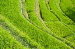 Terraço do arroz, Ubud, Indonésia Fotografia de Stock