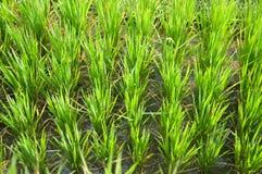 Terraço do arroz, Ubud, Indonésia Imagem de Stock
