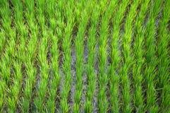 Terraço do arroz, Ubud, Indonésia Fotos de Stock Royalty Free