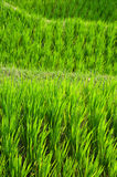 Terraço do arroz, Ubud, Indonésia Imagens de Stock
