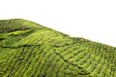 Terraço e paisagem da plantação de chá com céu isolado imagem de stock royalty free