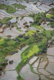 Terraço verde do arroz com água Sulawesi, Indonésia   Foto de Stock