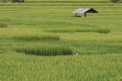 Terraço verde do campo do arroz Imagens de Stock Royalty Free