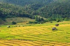 Terraços amarelos do arroz Fotografia de Stock