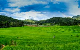 Terraços do arroz, campo do arroz em Pa Pong Piang, imagem de stock