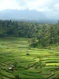 Terraços do arroz de Bali Imagens de Stock