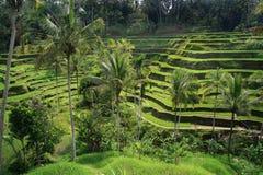Terraços do arroz de Bali com palmeiras Fotografia de Stock Royalty Free